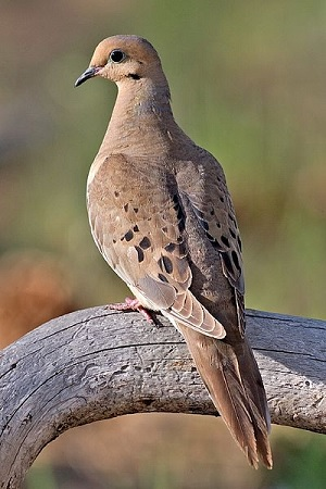 Mourning Dove - image credit naturespicsonline.com